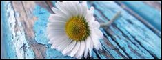 single white flower, turquoise wooden floor, facebook timeline cover photo
