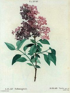 Pierre Redoute Lilac rothomagensis 1801-19