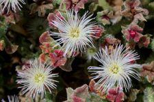 Ficoide glacial. Mesembryanthemum crystallinum.Barrilla.