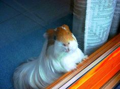 Love the long haired guineas!