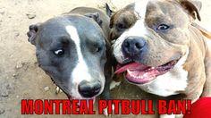 Pitbull Ban Montreal!