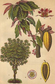 Cocoa cacao tree original 1922 botanical print by PaperThesaurus