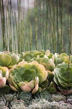 """Estas """"conchitas"""" las usamos en las jardineras de la terraza de este proyecto. No te pierdes este mini video  donde puedes ver el proyecto completo. Sprouts, Vegetables, Mini, Plants, Window Boxes, Terrace, Succulents, Veggie Food, Flora"""