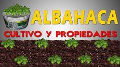 CULTIVO Y PROPIEDADES DE LA ALBAHACA