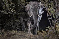 Camera trap photos elephant