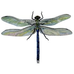 dragonfly colored pencil | Dragonfly, Green Darner ( Anax junius ), colored pencil and watercolor