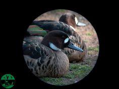 Pato de anteojos en el parque zoológico ornitológico de Avifauna Lugo
