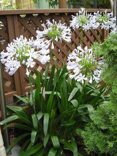 カテマスさまがおっしゃる通り、アガパンサスの植替えは、春先が最も適しています。...