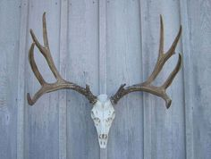 Mule Deer European Mounts are a great rustic home decor item, especially for a cabin, lodge or ranch. Each Mule Deer Antler Mount is hand stained to mimic authentic antlers. Made from medium-density polyethylene which is light weight but durable, just like the real thing, from Antlers Etc.