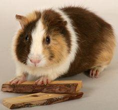 Teddy Guinea Pig | Teddy guinea pig , seperti namanya guinea pig ini memiliki bulu ...