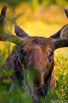A large bull Moose peaks through the Willow bushes at Brainard Lake, Colorado