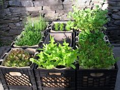 trying my hand with a different container garden this year old milk crates with square - Milk Crate Garden