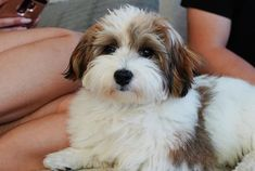 Havanese is the perfect pet. He loves the owners and is kind to children. But this is not all the advantages of the breed, want to know more? Bear Dogs, Teddy Bear Dog, Doggies, Havanese Grooming, Havanese Puppies, Havanese Full Grown, Doggy Stuff, Adorable Dogs, White Dogs