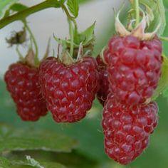 raspberry tulameen