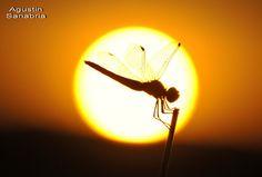 Libélula puesta de sol 2
