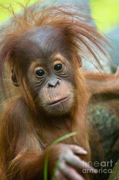 Baby Orangutan --Borneo