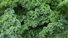 Boerenkool, Sla, Salade, Organische