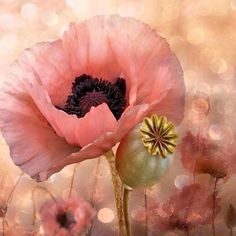 #Repost @corno_gabriele:Pink Poppy  #awesome #amazing #cool #colors #magic #majestic  #lit #light #love #life #Hope #Harmony #Horizons #Idyll #Imagine #Inspired #Incredible #Follow #PhotOfTheDay #Wonderland #Fairytale #flowers #awakening #pink #poppy #awakening #mesmerized #enchanted