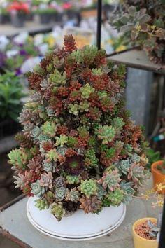 Wow...a mini succulent tree