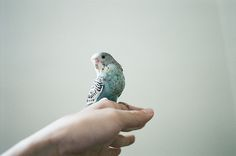 http://www.petcarevision.com/Parrot/budgies.php    http://www.petcarevision.com/Parrot/order.php