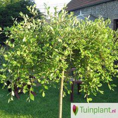 Treurwilg op stam (Salix caprea 'Kilmarnock' stam)