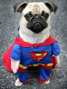 Superpug: On a warm winter's day there's really no need for anything much thicker than your standard superhero onesie