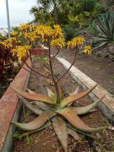 Aloe buhrii della famiglia delle Liliacee
