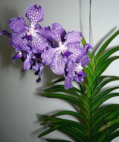 vanda tessellata mimi palmer | Vanda Mimi Palmer X Vanda coerulea