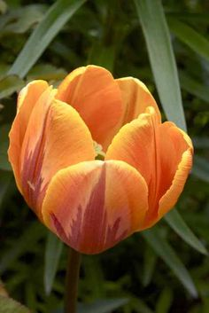 Triumftulpan, Tulipa gesneriana 'Prinses Irene' (Princess Irene)