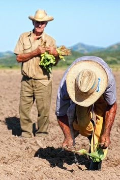 Guajiros planting tobacco. #Cuba