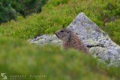 Marmot in the Tatra Mountains.  #wildlifephotography