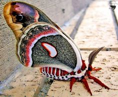 The Cecropia Moth is North America's largest native moth. Females have a wingspan of up to six inches or more.     by flexoutlaw