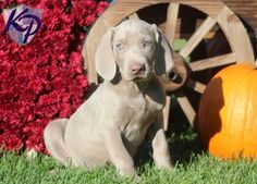 Keystone Puppies has a puppy finder feature setting you up to find and buy a dog perfect for your home. Weimaraner Puppies, Puppy Finder, Buy A Dog, Puppies For Sale, Labrador Retriever, Pets, Animals, Labrador Retrievers, Animales