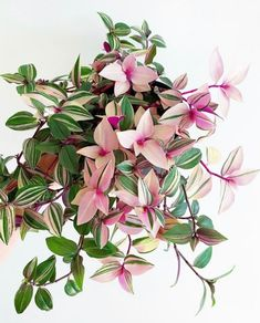14 Pink Houseplants Perfect for your Valentine - That Planty Life Tradescantia Tricolor Big Indoor Plants, Outdoor Plants, Hanging Plants, Hoya Plants, Terrarium Plants, Garden Plants, House Plants Decor, Plant Decor, Plantas Indoor
