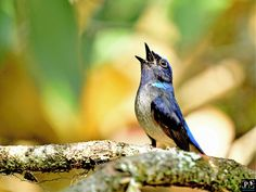 Small Niltava - Resident Himalayas and NE India ,Small size,Male dark blue, Female is dusky brown Blue Jay, Dark Blue, Birds, India, Female, Brown, Deep Blue, Dark Teal, Bird