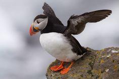 Climate Change Linked to Mass Puffin Die-Off in Bering Sea – via Weather Underground Common British Birds, Puffins Bird, Flappy Bird, Most Beautiful Birds, Pretty Birds, Sea Birds, Bird Species, Science And Nature, Parrot