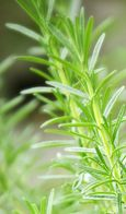 Apothecary Greens: Gallery of Herbs Rosemary