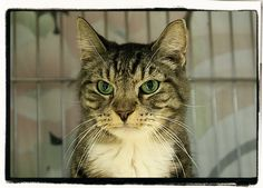 Pepsi - DSH - Brown Tabby - Human guardian passed away and this senior needs a furever home with lots of unconditional love.