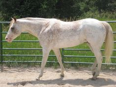 Roper Rocks, sabino Paint Horse stallion. (source)
