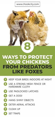 We have discussed about some best ways to protect your chickens from predators like foxes.. . . . #ChookCity #Chicken #RaiseChickens #BackyardChickens #UrbanGarden #UrbanHomestead #Homestead #ChickenLove #Chickenlife #FarmLife #Chickens #Womenwhofarm #Farming #FoxTrap #FoxTrapping Chicken Facts, Chicken Life, Silkie Chickens, Chickens And Roosters, Easy Animals, Large Animals, Chicken Breeds For Eggs, Raising Ducks, Raising Backyard Chickens