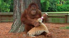 Este orangutan vio como los cuidadores se ocupan de los cachorros de tigre y ¡AHORA ÉL ES EL CUIDADOR! → http://www.viraldiario.com/orangutan-cachorros-tigre/