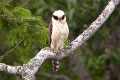 Bellas Aves de El Salvador: Herpetotheres cachinnans (halcón guaco, risueño o reidor)