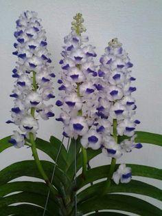 Giant Rhynchostylis orchid