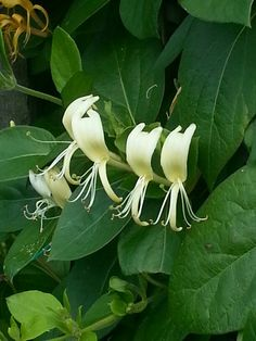 40 Best Honeysuckle Plants Images Honeysuckle Plant