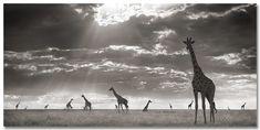 Giraffes in evening light_Maasai Mara- -Nick Brandt