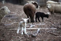 Little lamb in the field from Getting Stitched on the Farm: sheep Sheep Farm, Sheep And Lamb, Counting Sheep, Goat Farming, Alpacas, Lambs, New Shows, Farm Animals, Goats