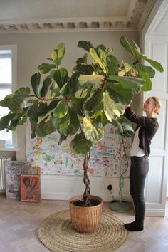 Easy Step by Step Sourcing Guide for Modern Home Decoration Ficus Lyrata – Malin Persson Elle Decoration The Best of home indoor in Plantas Indoor, Belle Plante, Indoor Trees, Large Indoor Plants, Indoor Outdoor, Outdoor Living, Decoration Plante, Growing Gardens, House Plants Decor