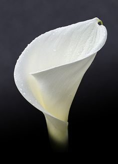 My favorite flower Calla Lily Lys Calla, Calla Lillies, Calla Lily, Exotic Flowers, Green Flowers, White Flowers, Beautiful Flowers, Lily Pictures, Black Background Photography