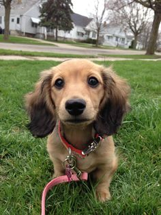 Long Hair Shaded Cream Miniature Dachshund - just cute! Cream Dachshund, Dachshund Funny, Dachshund Love, Dapple Dachshund, Cute Puppies, Cute Dogs, Dogs And Puppies, Tinker Bell, Weenie Dogs