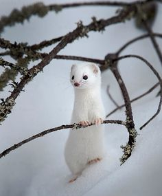 albino animals Weasel in winter, Finland npekonen Amazing Animals, Animals Beautiful, Cute Creatures, Beautiful Creatures, Nature Animals, Animals And Pets, Wild Animals, Cute Baby Animals, Funny Animals